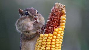 Превью обои белка, еда, кукуруза