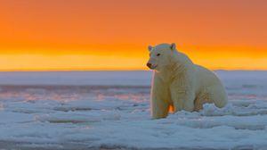 Превью обои белый медведь, аляска, снег