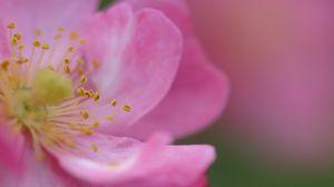 Превью обои цвет, шиповник, цветок, лепестки, роза, розовые