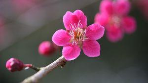 Превью обои цветок, цветение, растение, розовый