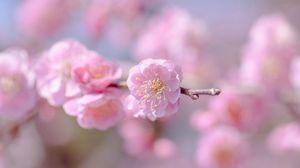 Превью обои цветок, весна, растение, лепестки, розовый