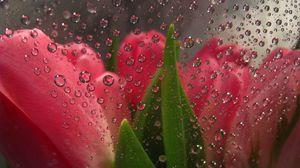 Превью обои цветы за стеклом, капли, тюльпаны