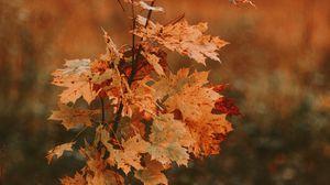 Превью обои дерево, клен, осень, листья, сухой