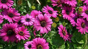 Превью обои диморфотеки, цветы, яркие, клумба, солнечно