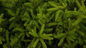 Превью обои ель, хвоя, ветки, растение, зеленый