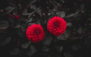 Превью обои георгина, бутоны, красный, куст, листья, цветение