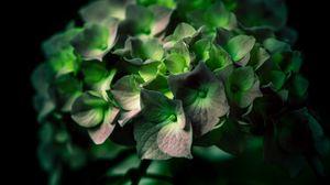 Превью обои гортензия, зеленый, цветок, крупным планом