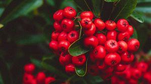 Превью обои ягоды, красный, грозди, макро, растение