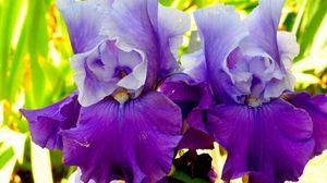 Превью обои ирисы, цветы, лепестки, сиреневый
