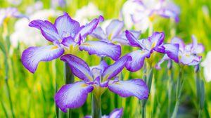 Превью обои ирисы, лето, клумба, цветы, цветение