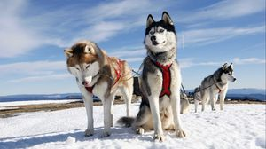 Превью обои хаски, пара, собаки, снег, аляска