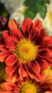 Превью обои хризантема, цветок, лепестки