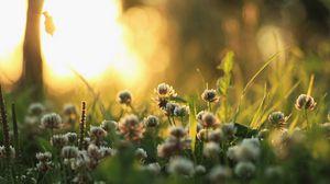 Превью обои клевер, природа, растения, утро, свет, трава