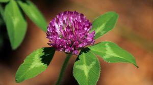 Превью обои клевер, цветок, растение, лепестки