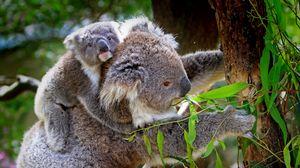 Превью обои коала, детеныш, дерево, эвкалипт