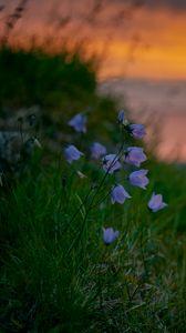 Превью обои колокольчики, полевые цветы, лето, трава