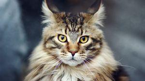 Превью обои кот, морда, пушистый, полосатый
