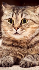 Превью обои кот, удивление, взгляд, полосатый