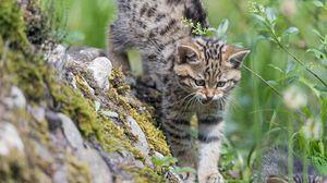 Превью обои котенок, дикая кошка, кот, оскал, трава, прогулка
