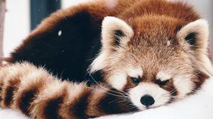 Превью обои красная панда, панда, пушистый, лежать