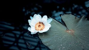 Превью обои кувшинка, цветок, белый, растение, вода