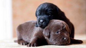 Превью обои лабрадор, ретривер, собаки, щенки, пара