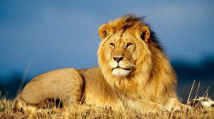Превью обои лев, царь зверей, лежать, взгляд, грива