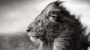 Превью обои лев, грива, морда, чб, ветер, поле
