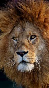 Превью обои лев, хищник, морда