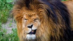 Превью обои лев, оскал, агрессия, морда, грива, хищник, царь зверей, большая кошка