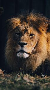 Превью обои лев, животное хищник, большая кошка, коричневый, дикий