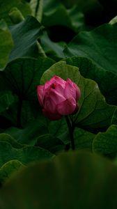 Превью обои лилия, бутон, цветок, розовый, растение