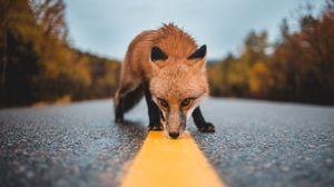 Превью обои лиса, асфальт, разметка, нюх, любопытство, дикая природа