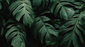 Превью обои листья, растение, зеленый, темный, растительность