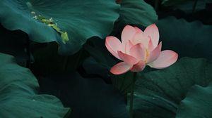 Превью обои лотос, цветение, листья, розовый