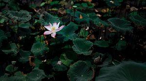 Превью обои лотос, цветок, листья, озеро