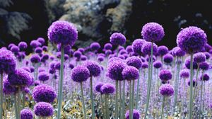 Превью обои лук, цветение, фиолетовый, поляна