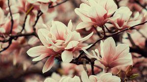 Превью обои магнолия, цветы, ветки, растение, цветение, весна