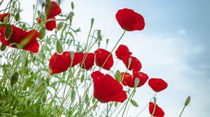 Превью обои маки, цветы, красный, растение, цветение