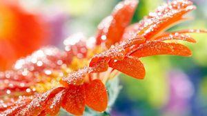 Превью обои макро, цветок, капли, роса
