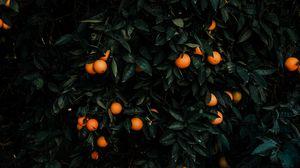 Превью обои мандарины, куст, плоды, цитрус, растение