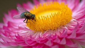 Превью обои муха, цветок, макро, розовый