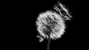 Превью обои одуванчик, растение, пух, макро, черно-белый, черный