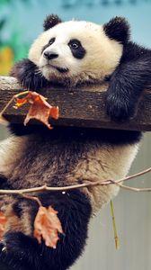 Превью обои панда, медведь, ветка, дерево
