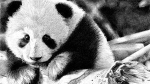 Превью обои панда, окрас, морда, чб