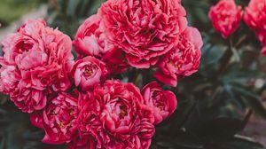 Превью обои пионы, цветы, розовый, цветение, растение
