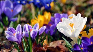 Превью обои подснежники, разноцветные, цветы