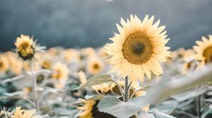 Превью обои подсолнухи, цветы, поле, цветение, растения