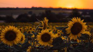 Превью обои подсолнухи, цветы, желтый, поле, закат