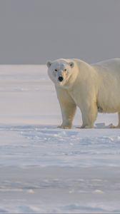 Превью обои полярный медведь, медведь, животное, белый, снег